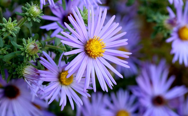 Ornamental flowers in Ladakh, Aster