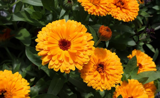 Ornamental flowers in Ladakh, Calendula