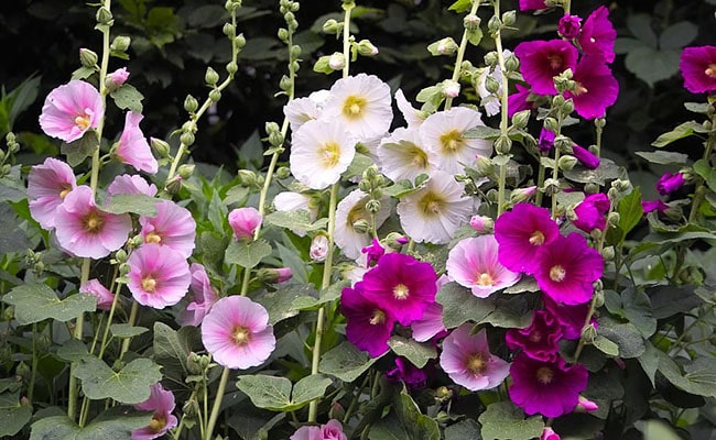 Ornamental flowers in Ladakh, Hollyhock